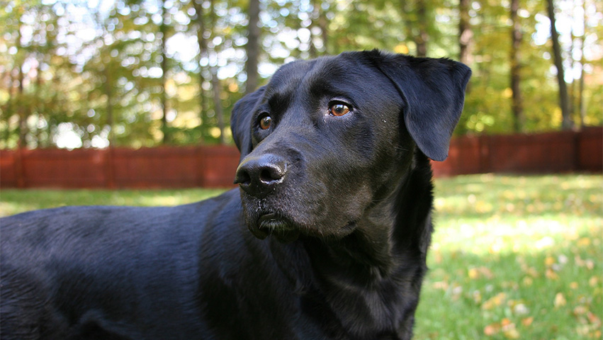 labrador - Discovering Treasure: What Sorts of Dog Breeds Can You See at a Shelter?
